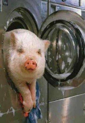 spalarea porcului